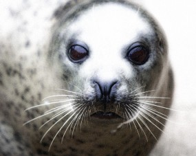 Seal Eyes + Effects