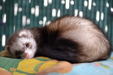 Scout the ferret
